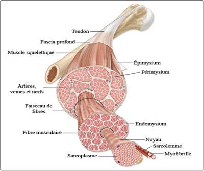 coupe transversale d'un muscle