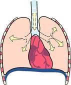 mecanisme respiration ventrale, inspiration