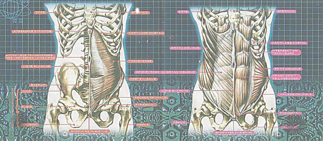 les muscles de la sangle abdominale